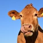 GPS-t kapnak az idegesítően kolompoló tehenek