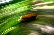 Agresszív vaddisznók helyett szeleburdi kutyák a titokzatos gomba nyomában