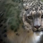 Három hóleopárdot is megfertőzött a koronavírus a lousville-i állatkertben