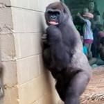 Röhögünk a gorillákon, pedig pont úgy viselkednek, mint mi