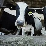 A szomszédban is meleg van: tartálykocsikból itatják a legelésző teheneket Ausztriában