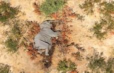 Megvan, mitől pusztulnak tömegesen az elefántok Botswanában