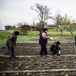 Közmunkások a magyar abszurdban: eltűnt malacok, megszökött borjú, üres ültetvény