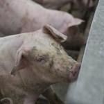 Le kell ölni az állatokat Európa második legnagyobb sertéstelepén