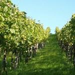 A szőlőre veszélyes kabóca terjed Magyarországon