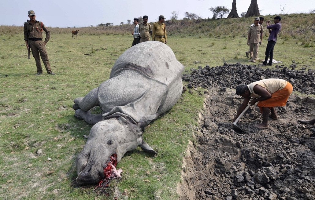 afp. hét képe - 2014.03.26. INDIA, Guwahati : Indian forest officials and security personnel inspect the body of a one-horned rhinoceros which was killed and dehorned by poachers at the Pobitora Wildlife Sanctuary some 45kms from Guwahati in the northeast