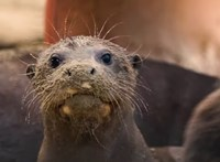 Koronavírusosak lettek a vidrák egy amerikai állatkertben