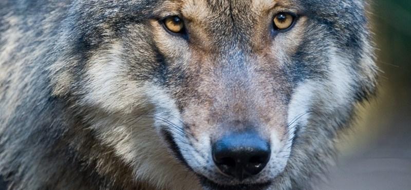 Felfüggesztették a pécsi állatkertet a kilőtt farkas miatt
