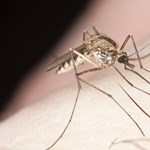 Szúnyogok terjesztik a veszélyes kórt Vietnámban