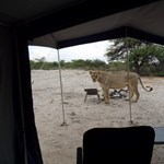 Durva ébredés: oroszlánok nyalogatták a sátrukat