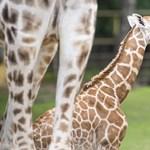 Zsiráfborjú született a Nyíregyházi Állatparkban – fotók