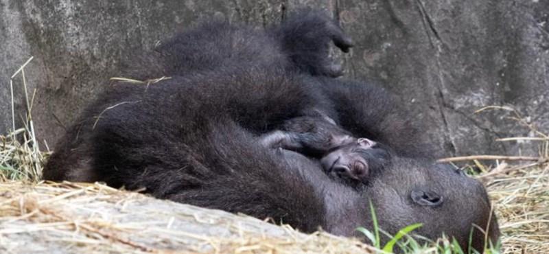 Hat nappal születése után meghalt a gorillacsecsemő a New Orleans-i állatkertben