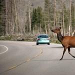 Mit tegyünk, ha vadállat fut az autóútra?