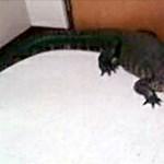 Aligátort találtak egy középiskola büféjében