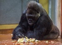 Tortát kapott születésnapjára Golo, a 40 éves budapesti gorilla