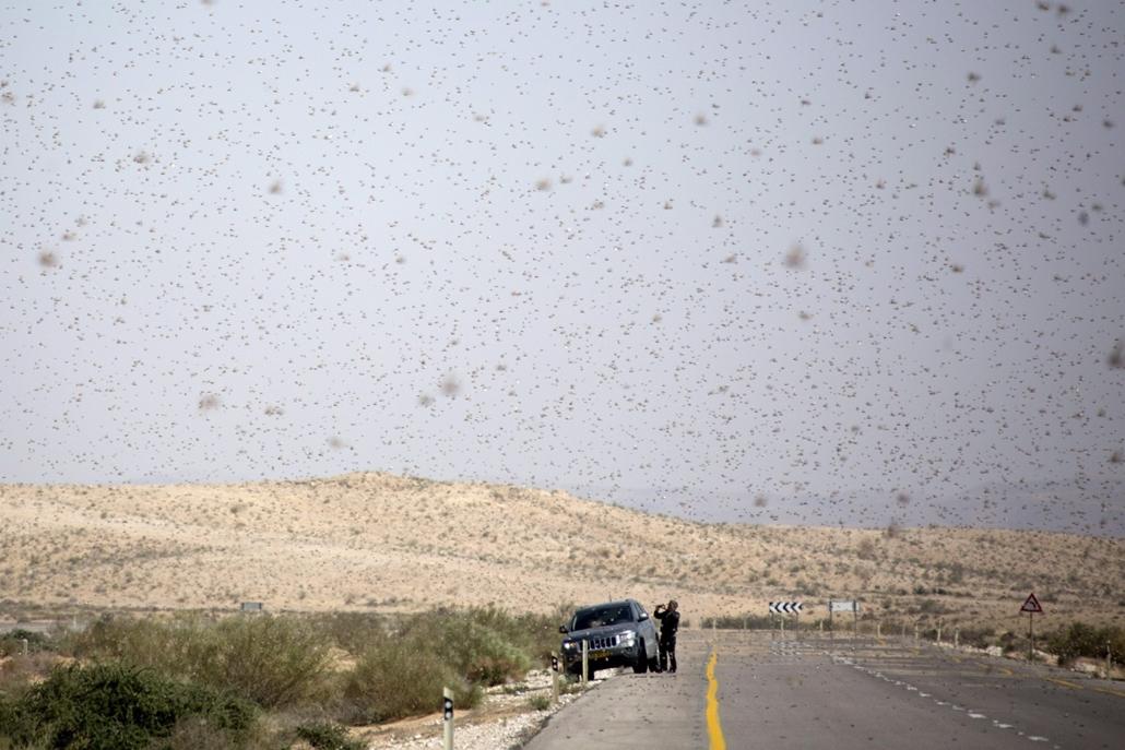 7képei 0308 - Sáskajárás Izraelben, Nicana, 2013. március 6.Sáskajárásról készít felvételt egy férfi a Negev sivatagban, az egyiptomi-izraeli határ térségében fekvő Nicanánál 2013. március 6-án.