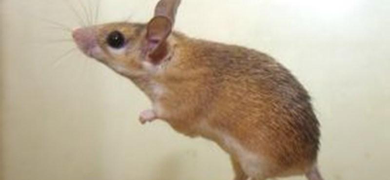 Alkoholista egereket tenyésztett ki egy kutató