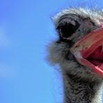 Fél Pest megye egy megszökött emut keres