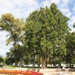 Lecsúszott a magyar jelölt az év fája versenyen