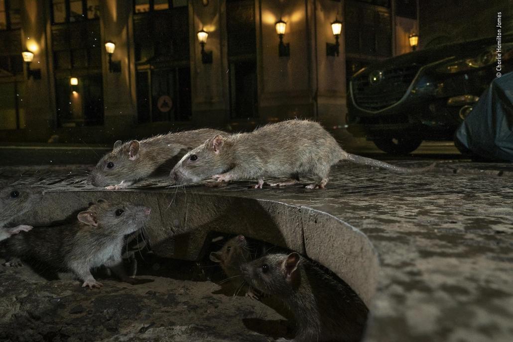 NAGYÍTÁS NE HASZNÁLD Patkánybanda Manhattanban