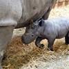 Bemutatták a nemrég született bébiorrszarvút a chesteri állatkertben - videó
