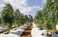 Új-Zélandon megszavaztatják a marihuána legalizálását