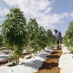 A marihuána (is) dönthet az izraeli választáson