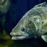 A süllő lett az év hala Magyarországon