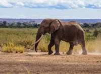 Szegedi találmányt akasztanak a kenyai elefántok nyakába: jelez, ha valaki lő a közelben