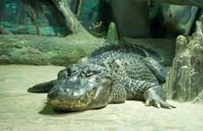 Elpusztult a világ legizgalmasabb életét élő aligátora