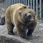Autópályán átkelve jött Magyarországra a lengyel medve - térkép