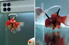 """""""Kerekesszéket"""" kapott egy mozgássérült hal"""