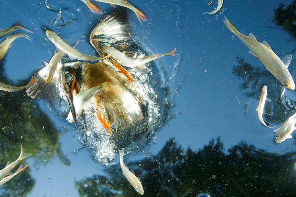 Természet és tudomány (sorozat) III. díj: Dr. Szentpéteri L. József (National Geographic Image Collection): Jégmadarak. Ez a faj hazánk egyik legszínpompásabb madara, mely tökéletesen alkalmazkodott a vízből való zsákmányszerzéshez. Táplálékát szinte kizárólag vízbe való merüléssel szerzi, de életének minden egyéb tevékenysége is a vízhez, vízparthoz kötődik. Természetvédelmi szempontból fontos jelzőfaj: stabil jelenléte jó állapotú, kevéssé szennyezett élőhelyre utal.