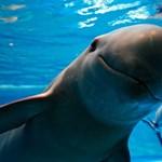 """A """"tengerek kokainja"""" miatt pusztulhat ki a kaliforniai disznódelfin"""