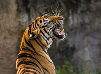Koronavírusosak lettek egy New York-i állatkert tigrisei és oroszlánjai