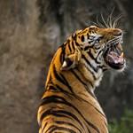 Csak egy kis füvet akart szívni egy elhagyatott házban, de egy jól megtermett tigrist talált