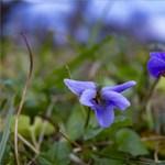 Virágzik az ibolya Zalában