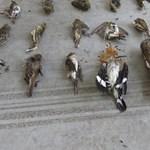 Tömeggyilkosság a védett madarak között - döbbenetes zsákmánnyal fogtak el egy románt Letenyénél