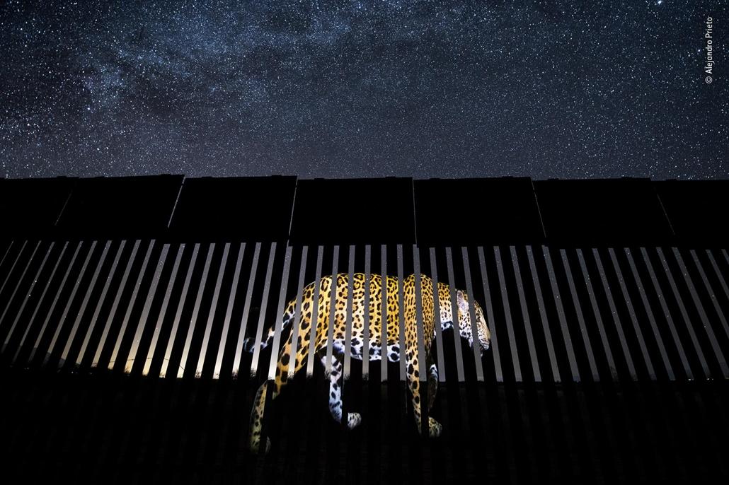 NAGYÍTÁS NE HASZNÁLD Hím jaguár az amerikai-mexikói határon