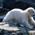 Dárdai klubjáról kapta a nevét a berlini jegesmedvebocs