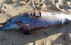 Február óta 279 delfintetemet találtak a Mexikói-öbölben