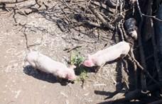 Újabb magyar határhoz közeli településen jelent meg az afrikai sertéspestis Romániában
