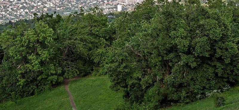 Nagy területen vágtak ki fákat a Normafánál