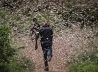 Új videók jöttek a sáskák borította Kenyából