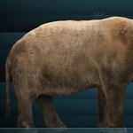 Erre az ősállatra sem vadászhatott Alaszkában az ember - fotó