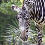 Kipusztulás felé tartanak a különleges Grévy-zebrák