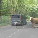 Egy újabb tehén bukkant fel az úton, ezúttal Dobogókő környékén