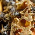 Először vettek fel méhfajokat a veszélyeztetett fajok listájára az USA-ban