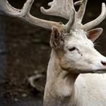 Nem trükkfelvétel: teljesen fehér őzet fotóztak Tokajnál
