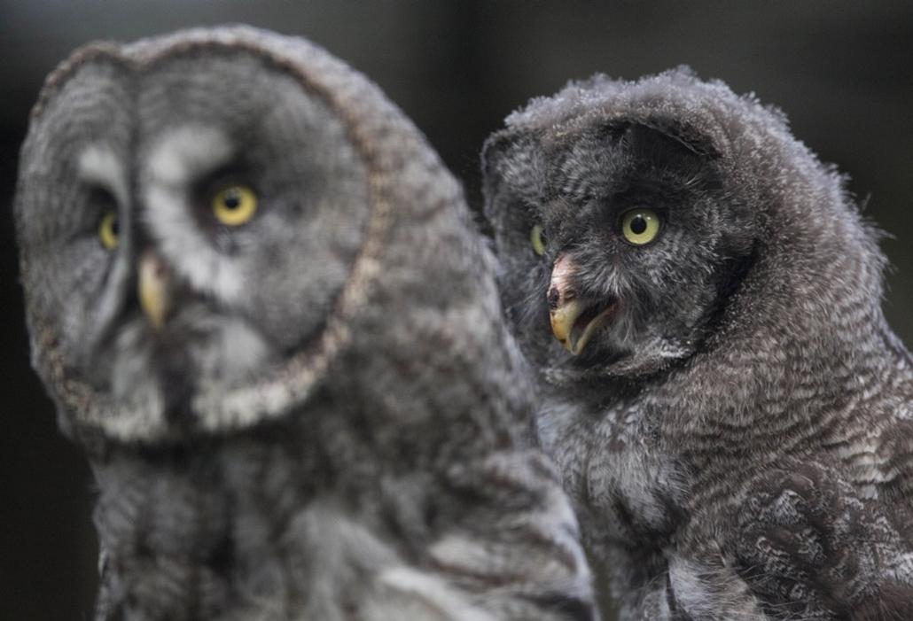 Tízhetes szürke  bagoly anyja mögött a berlini állatkertben